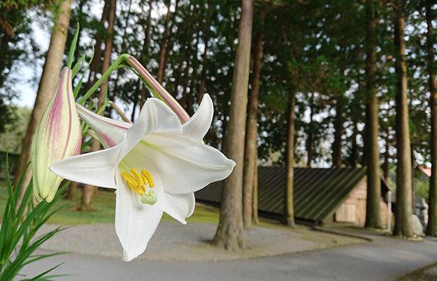 三角兵舎とユリの花